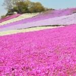 運が良ければイルミネーションと芝桜の両方が楽しめるかも!東京ドイツ村